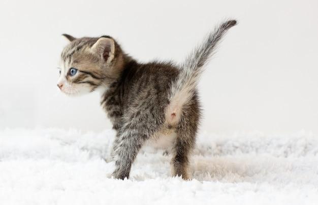 Ass kleines kätzchen. isoliert auf weißem hintergrund