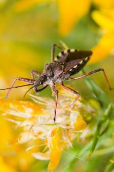 Assassin bug (rhynocoris cuspidatus)