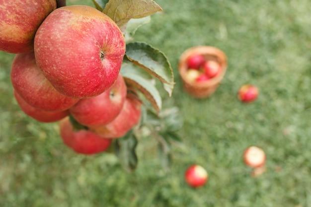 Ast mit äpfeln auf grashintergrund mit darauf verstreuten äpfeln