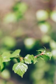 Ast mit jungen blättern, birke, schönheit