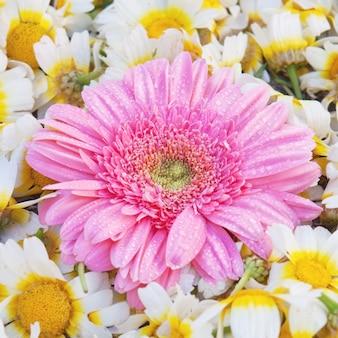 Asterblume, vor dem hintergrund der gänseblümchen.