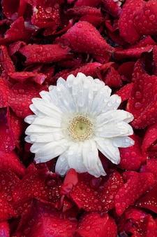 Asterblume, vor dem hintergrund der rosenblätter