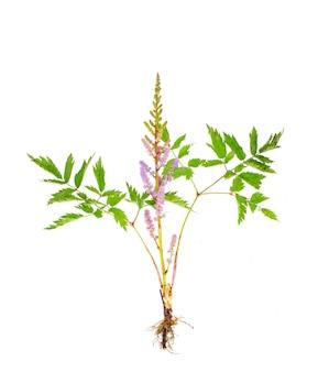 Astilba-trieb mit wurzel und rosa blütenstand.