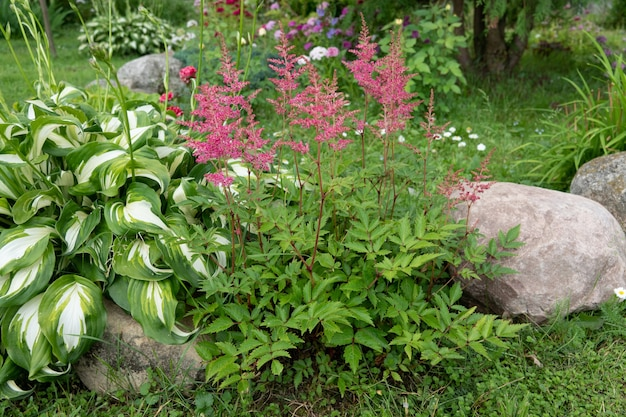 Astilbe saxifragaceae eine blume ohne glitzer sommer schöne textur unscharfer hintergrund falsche spiraea, schwarzwurzel