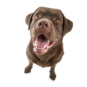 Atelieraufnahme des labrador-apportierhunds lokalisiert