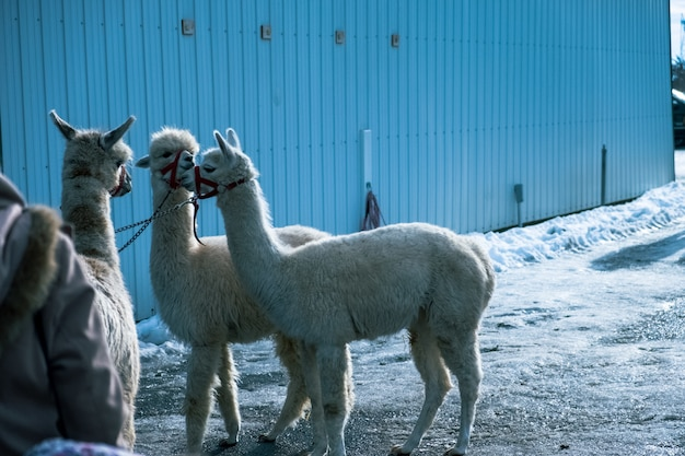 Atemberaubende aufnahme von weißen alpakas, die im winter kopfbänder tragen