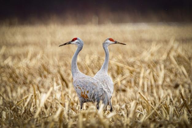 Atemberaubende aussicht auf sandhill cranes, die an einem wolkigen tag auf einem feld stehen