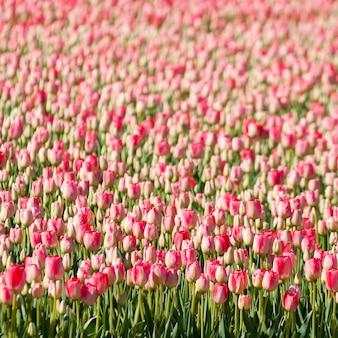 Atemberaubende aussicht auf tausende von wunderschönen rosa tulpen, die an einem sonnigen tag in einem garten gefangen wurden