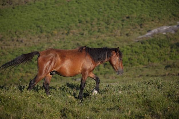 Atemberaubende selektive fokusaufnahme eines wilden braunen pferdes, das im feld in galizien, spanien läuft