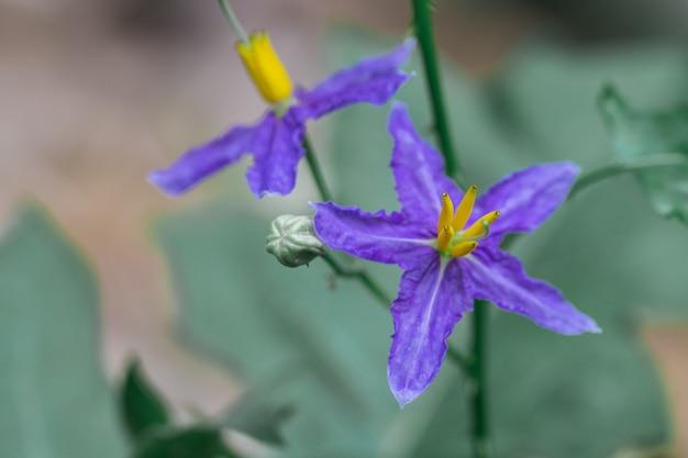 Auberginenblume lila