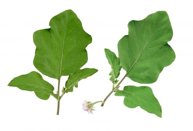 Auberginenniederlassung mit grünblättern und purpurroter blühender blume