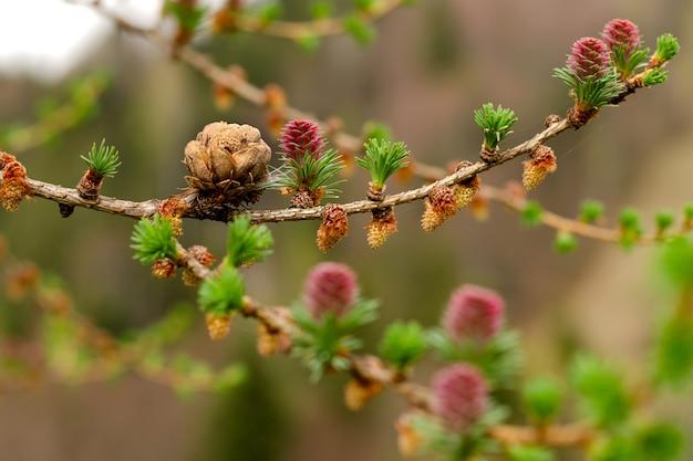 Auf ästen wachsen junge grüne sprossen und zapfen von nadelbäumen.