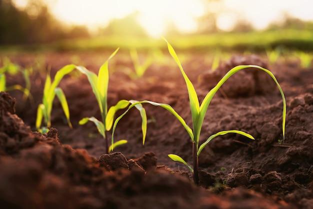 Auf bauernhöfen angebauter mais wächst. abends gibt es ein mildes sonnenlicht.