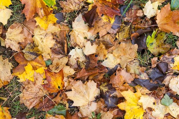Auf dem boden liegend gelbe ahornblätter in der herbstsaison. lage im park. kleine schärfentiefe. hintergrundbeleuchtung sonne