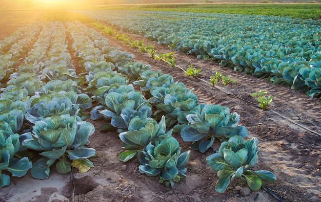 Auf dem feld wachsen kohlplantagen. frisches bio-gemüse. landschaftslandwirtschaft. ackerland