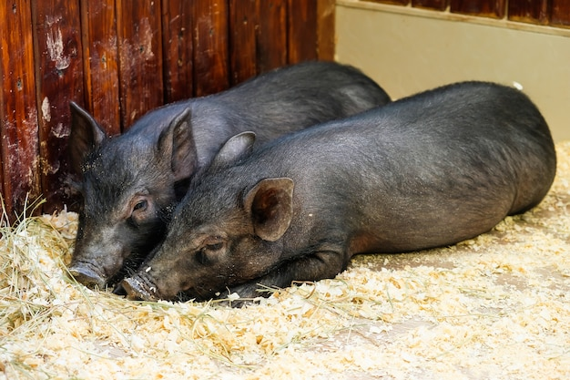 Auf dem hof liegen zwei kleine schwarze schweine