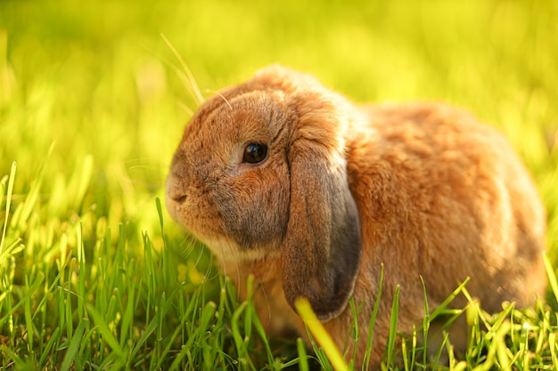 Auf dem rasen sitzt ein kleiner hase mit hängeohren. zwergartiges kaninchenbrut-ram an der sonnenuntergangsonne. warmer sommertag.