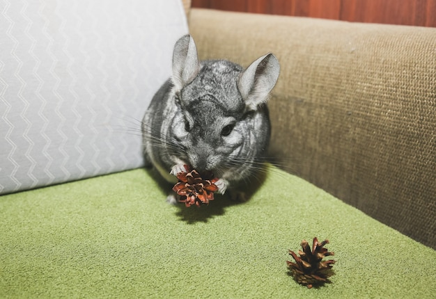 Auf dem sofa sitzt eine graue chinchilla. netter flauschiger haustier, der kegel isst.