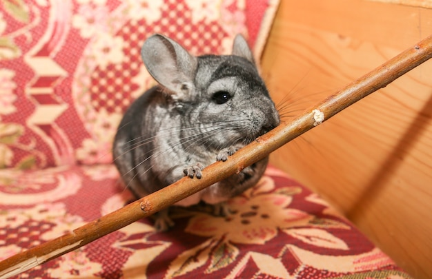 Auf dem sofa sitzt eine graue chinchilla. netter flauschiger haustier, der stock isst.
