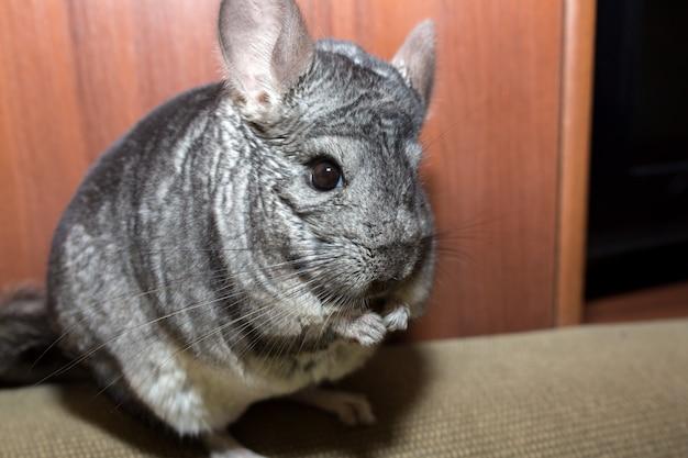 Auf dem sofa sitzt eine graue chinchilla. nettes flauschiges haustier.