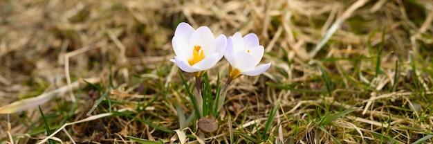 Auf dem verwelkten gras wachsen blumenkrokusse in voller blüte, weiß lila farbe. die ersten frühlingsblumen in der natur im freien. banner
