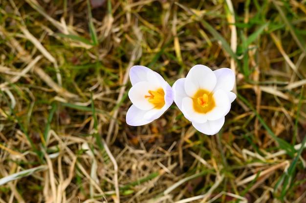 Auf dem verwelkten gras wachsen blumenkrokusse in voller blüte, weiß lila farbe. die ersten frühlingsblumen in der natur im freien. draufsicht