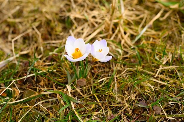 Auf dem verwelkten gras wachsen blumenkrokusse in voller blüte, weiß lila farbe.