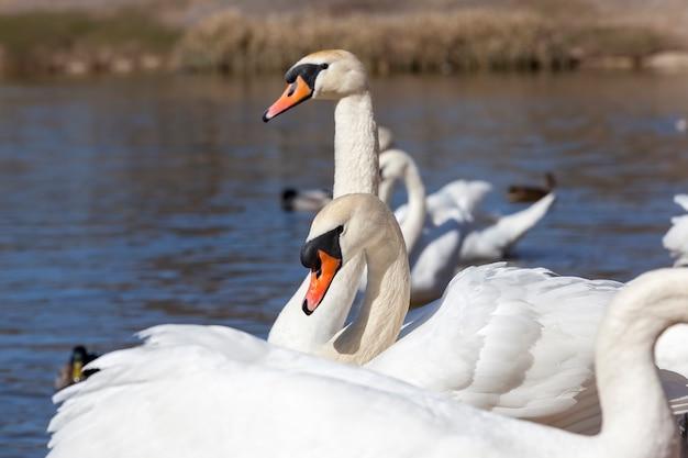 Auf dem wasser schwimmt eine gruppe von weißen schwänen, die frühlingsvögel, wildtiere mit schwänen und wasservögeln während der frühjahrszucht, nahaufnahme