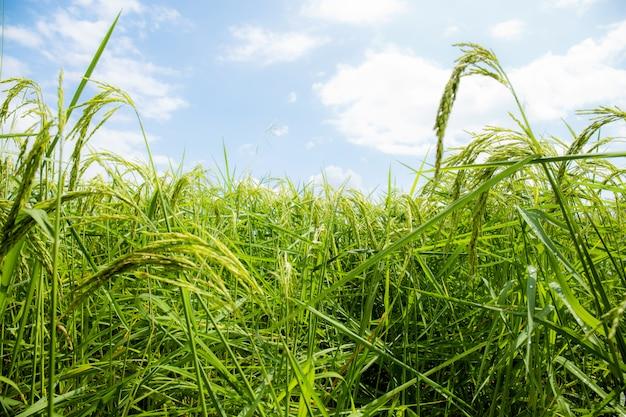 Auf den feldern wachsen grüne körner.