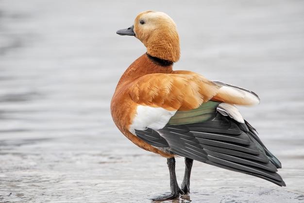Auf den teichen lebende wasservögel, die am ufer des sees stehen