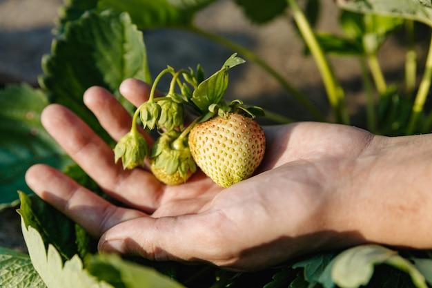 Auf der handfläche liegt ein bündel reifer unreifer grüner erdbeeren, die nicht aus dem busch gerissen wurden.