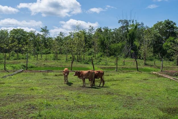 Auf der wiese grasen viele kühe.