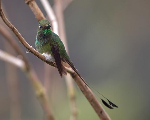 Auf einem ast thronender kolibri mit raketenschwanz