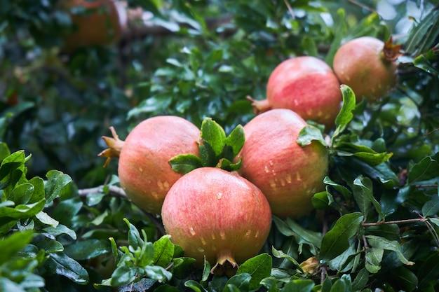 Auf einem ast wachsen reife, mit regentropfen bedeckte granatäpfel