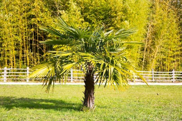 Auf einem feld wächst eine palme, im hintergrund ein bambushain. tropisches klima, natürlicher hintergrund