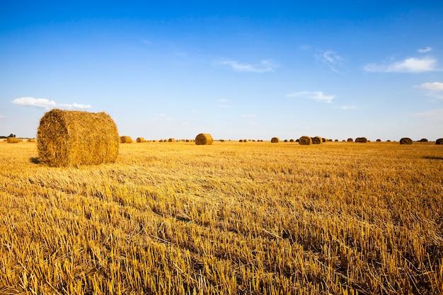 Auf einem landwirtschaftlichen feld liegt ein strohstapel nach der reinigung von getreide