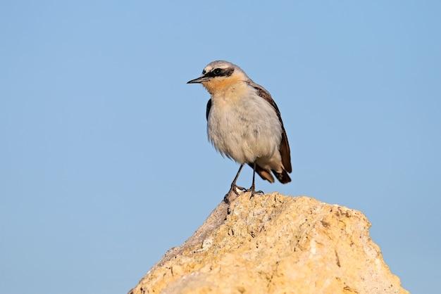 Auf einem stein steht ein männchen aus nordweizen (oenanthe oenanthe) im brutkleid