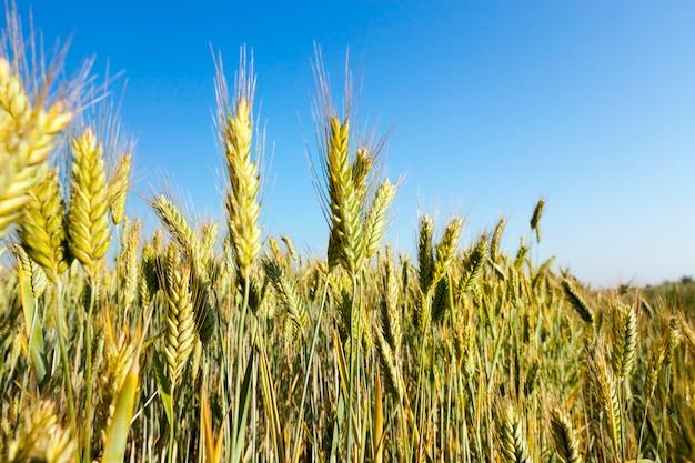 Auf landwirtschaftlichem feld unreifer grüner weizen wachsen. das wurde im sommer aufgenommen.