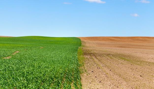 Aufgeteilt in teile des landwirtschaftlichen feldes, von denen einer eine ernte von getreideweizen anbaut, aus der bereits grüne sprossen hervorgegangen sind, pflügte in der zweiten hälfte der boden