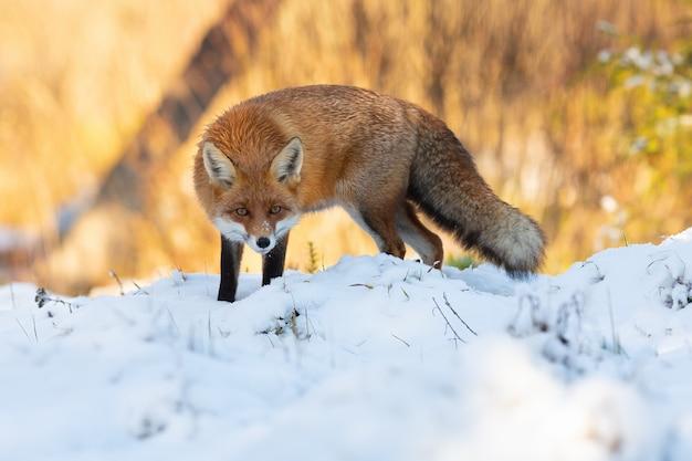 Aufmerksamer rotfuchs, der im winter auf der wiese kauert.
