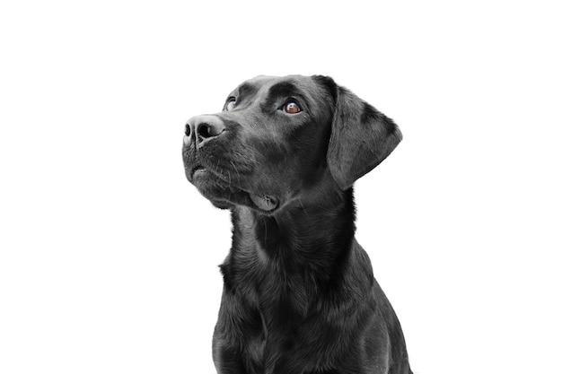 Aufmerksamer schwarzer labradorhund, der oben schaut, seitenansicht. auf weißem raum isoliert. gehorsam-konzept.