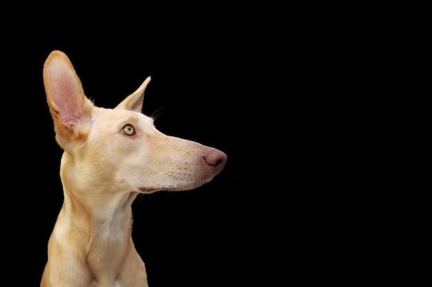 Aufmerksamer welpenhund, der seite weg schaut. isoliert