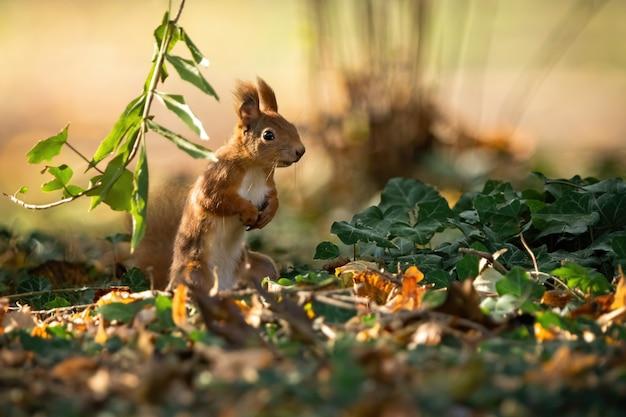 Aufmerksames eichhörnchen, das auf den hinterbeinen in aufrechter position auf dem boden steht