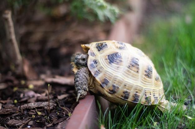Aufnahme einer russischen schildkröte