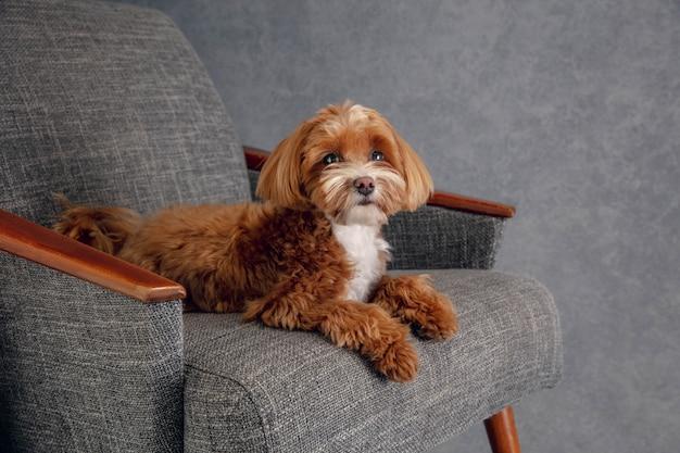 Aufrichtiger freund. maltipu kleiner hund posiert.