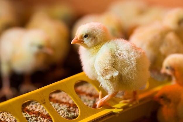 Aufzucht von hühnern auf einer geflügelfarm