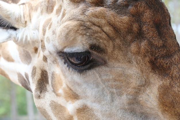 Auge der giraffe