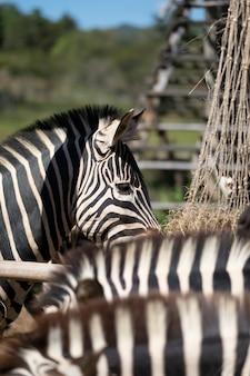 Auge des zebras