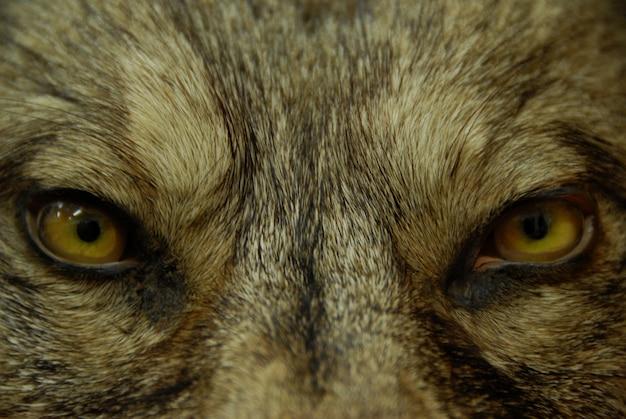 Augen des wolfes