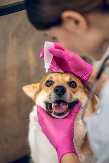 Augenbehandlung. tierarzt, der augentropfen auf die augen des hundes fallen lässt